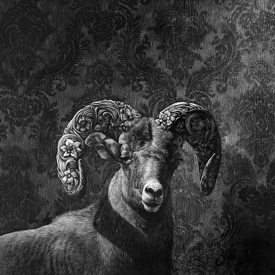 Kaetlyn Able, Bighorn Adorned 2019, scratchboard drawing